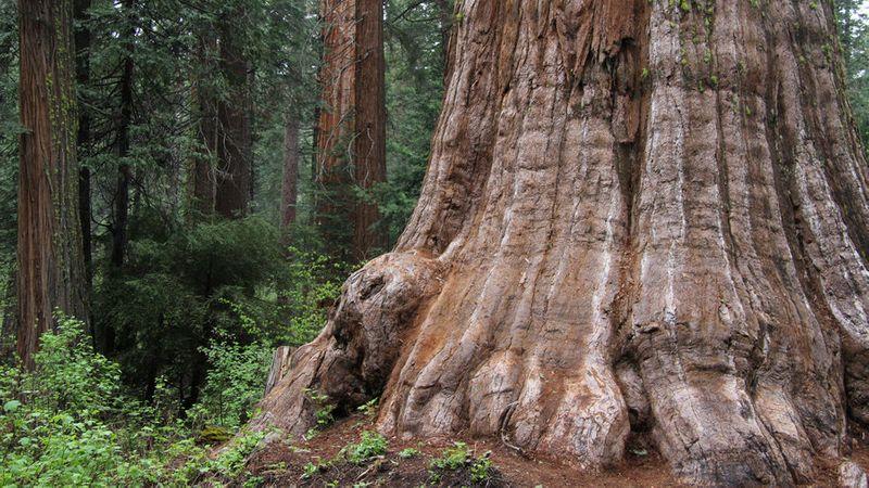 Calaveras Big Trees State Park in the California Sierra Nevada