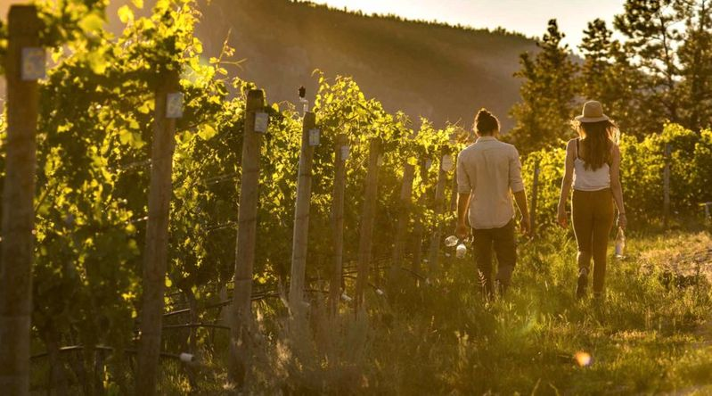 Couple walking among vineyards in Okanagan Valley on a Pacific Northwest trip in the fall