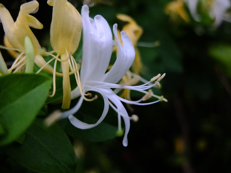 Honeysuckle 'Graham Thomas'