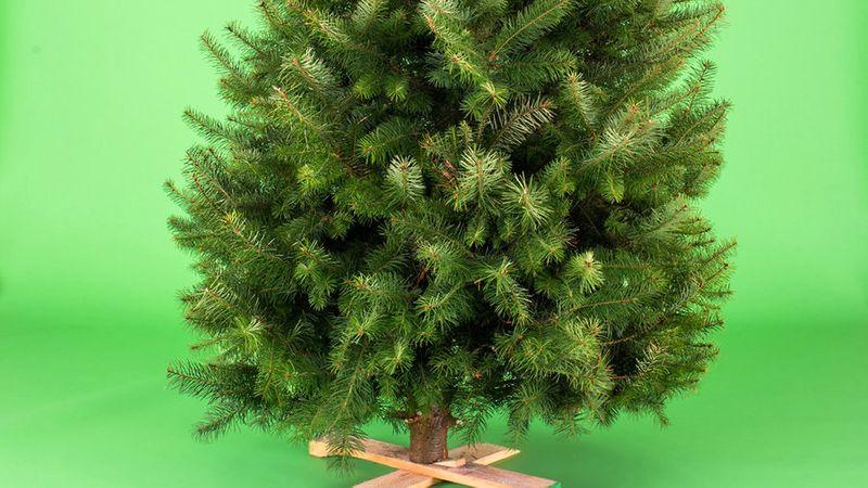 living Christmas trees