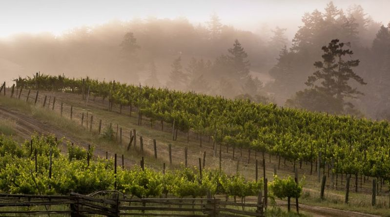 Fog over the vineyards at Lazy Creek Vineyards in Anderson Valley