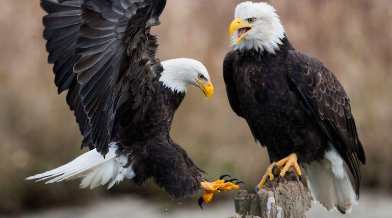 Spot Bald Eagles on the Skagit River, WA