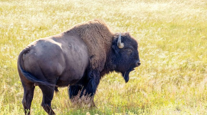 Wildlife Watching at Yellowstone National Park