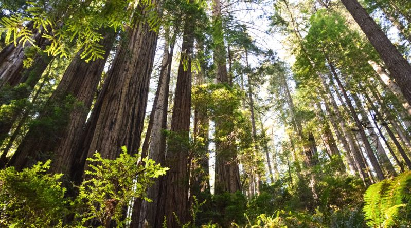Towering Redwood trees at Redwood National and State Parks in California