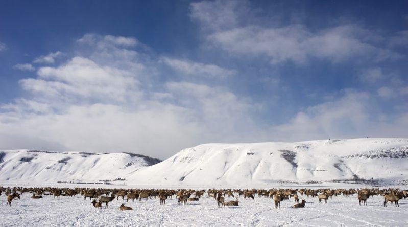 Frolic with Elk Herds in Wyoming
