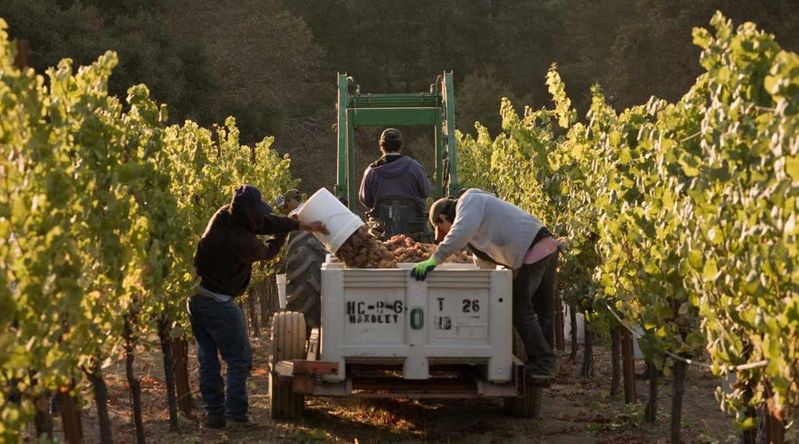 Winemakers picking grapes in the vineyards at Handley Vineyards in Anderson Valley's secret wine country area