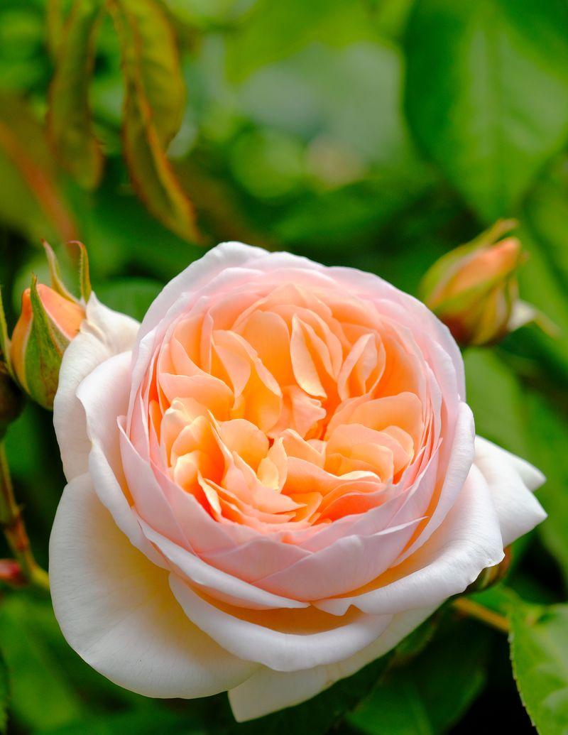 'Sweet Juliet'