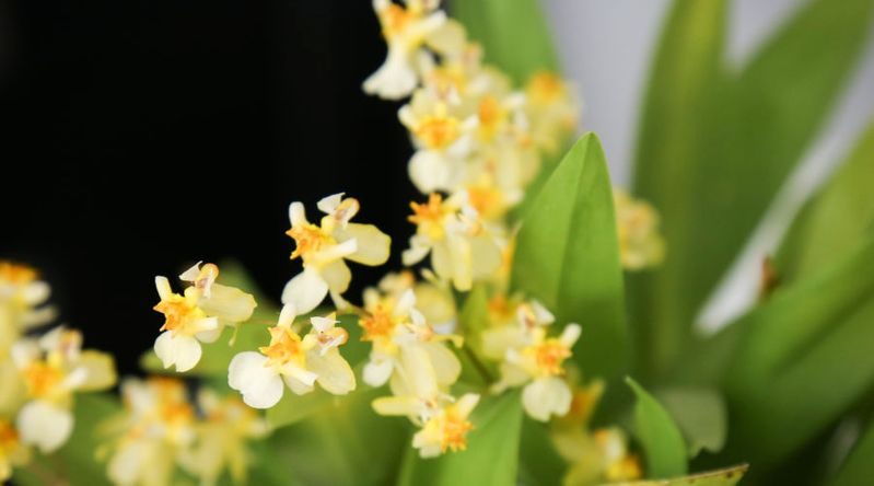 'Twinkle' Orchid (Oncidium 'Twinkle')