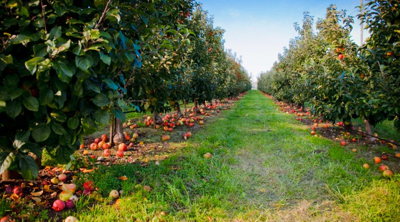 Washington's apple country orchards