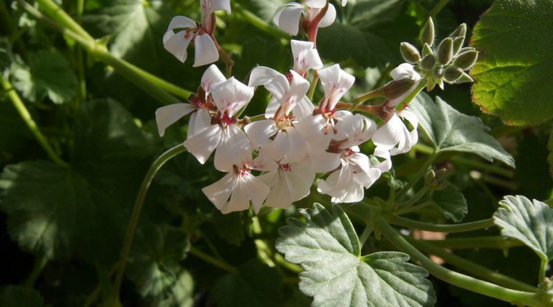 Nutmeg-Scented Geranium (Pelargonium x fragrans)