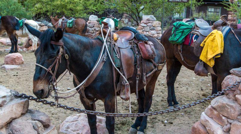 Mules at Phantom Ranch