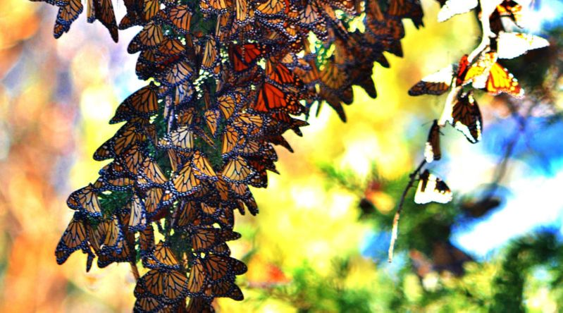 Follow the Monarchs to the California Coast