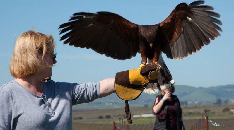 Woman holding a falcon at Bouchaine Vineyards on a California Wine Country tour