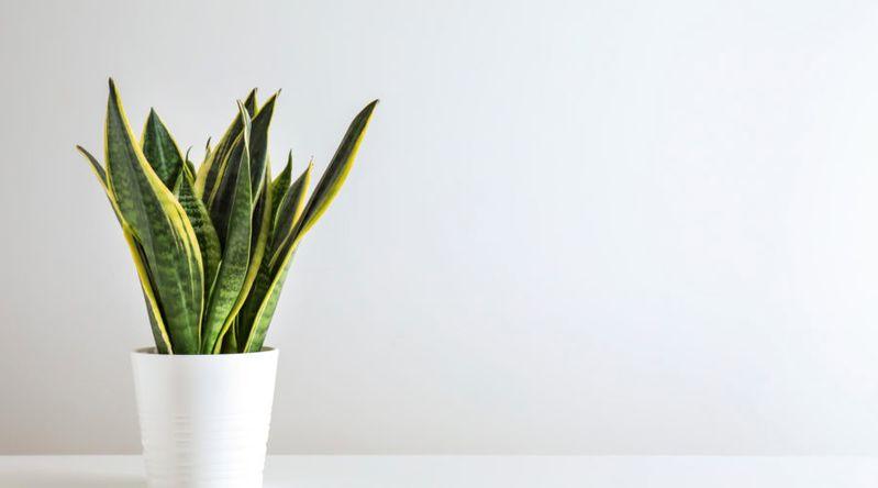 Sansevieria foliage houseplants