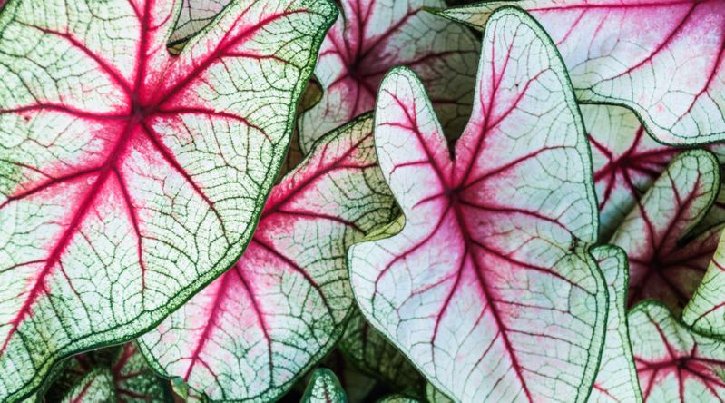 variegated caladiums