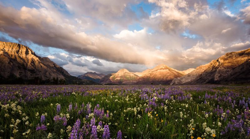 Wildflowers at the UNESCO protected Waterton-Glacier International Peace Park
