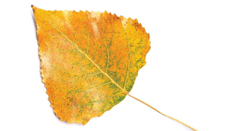 Golden leaf from fall foliage tree