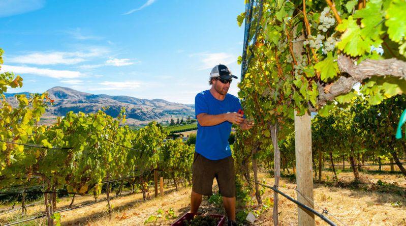 Man picking grapes during the winery harvest season in Washington