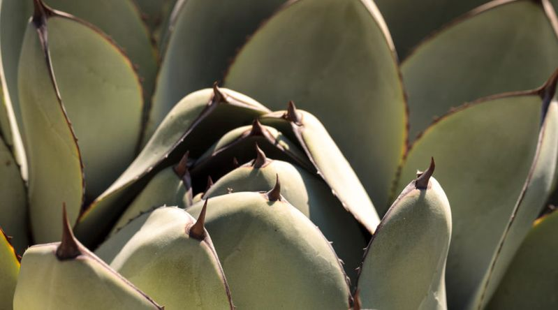 Agave 'Blue Flame'