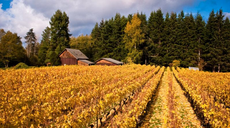 Whidbey Island Winery in one of Washington's secret wine countries in Puget Sound with golden vineyards