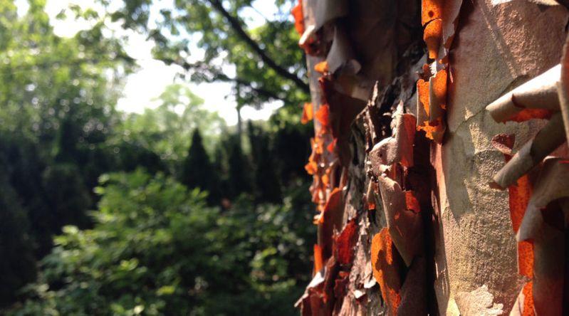 Paperbark Maple (Acer griseum)