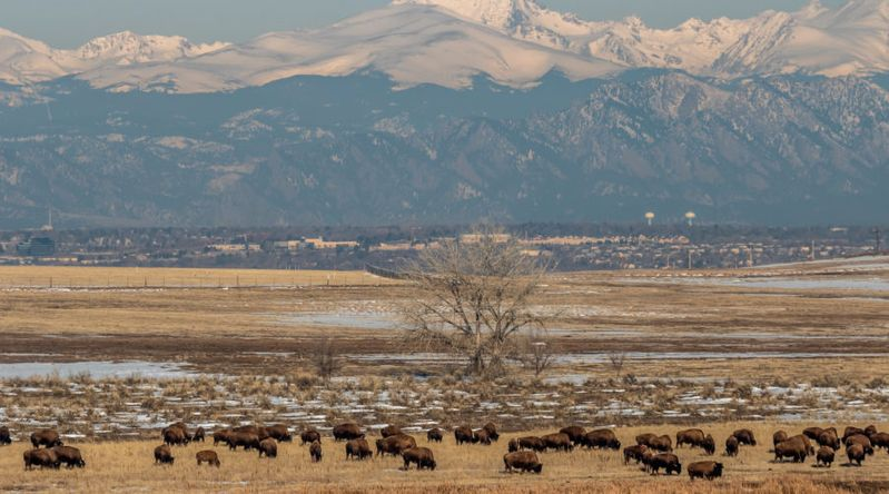 Rocky Mountain Arsenal Wildlife Refuge bison with city and mountains