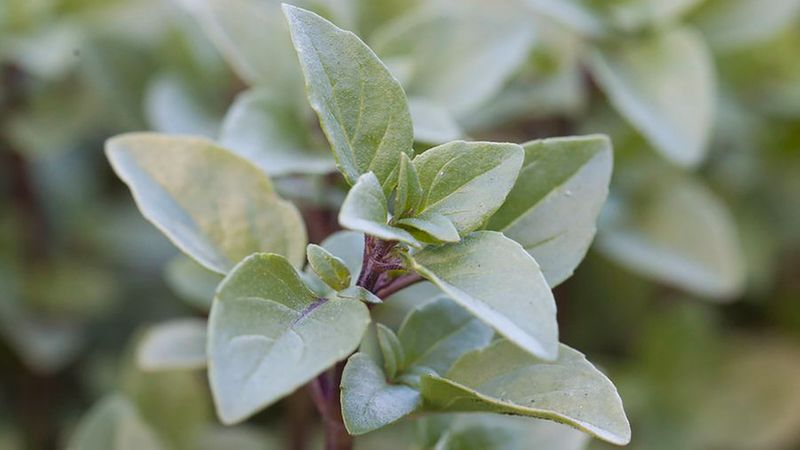 Indispensable Garden Herbs - Sunset Magazine