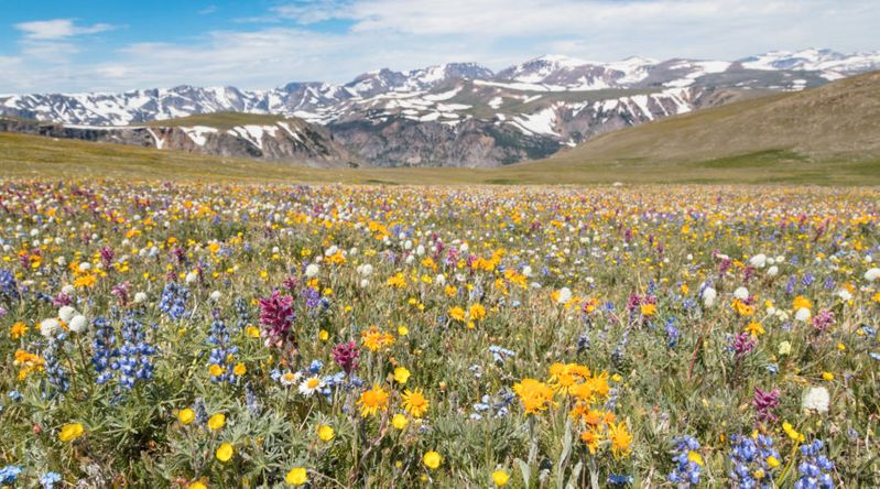 Wildflowers at Beartooth Pass at Yellowstone National Park