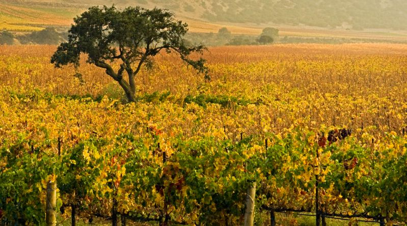 Vineyards in fall foliage in Monterey, California