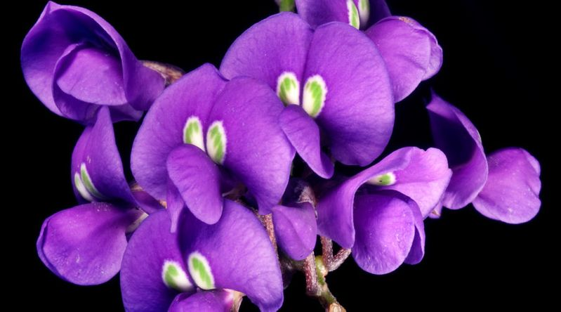 Hardenbergia