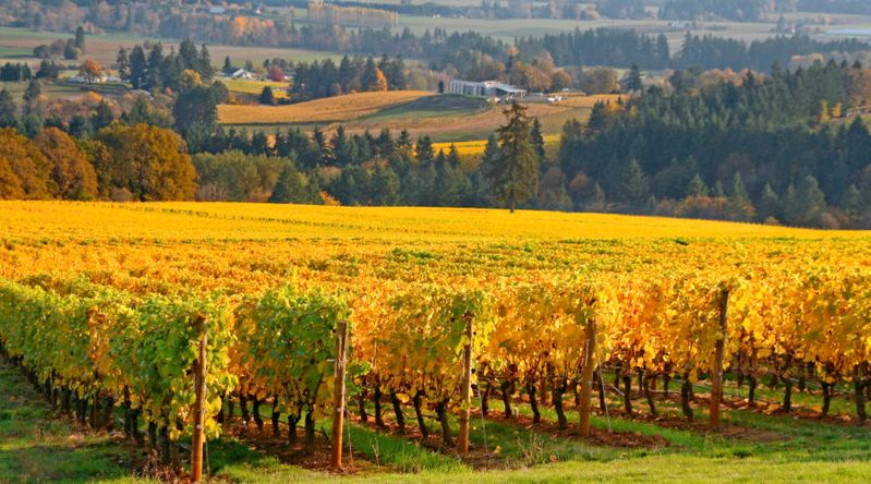 rows of grape vines in Autumn colors in the Willamette valley on a Pacific Northwest trip
