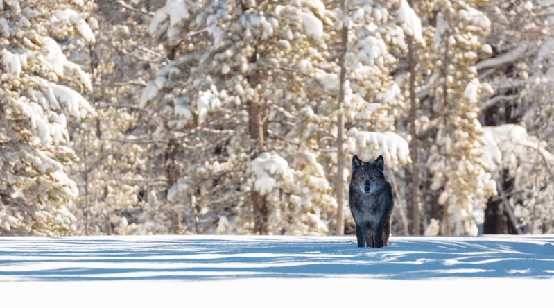 A wolf in the snow at the entrance of Artist Paint Pots in Yellowstone National Park