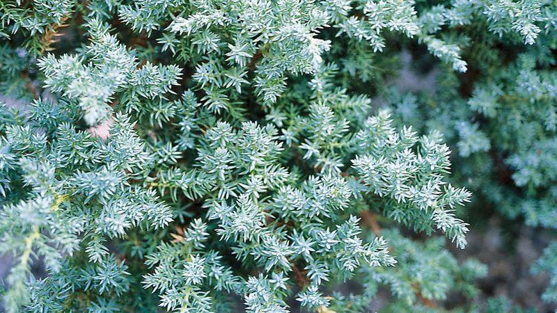 shrub screen