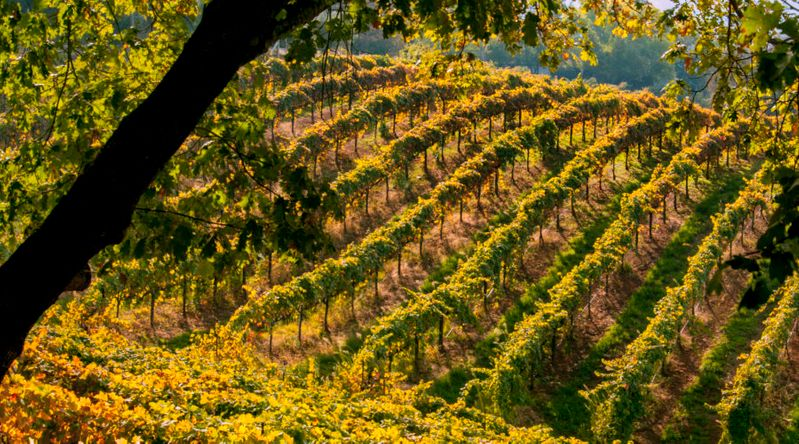 Hillside vineyard, El Dorado County, near Placerville, California