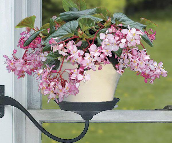 Begonia 'Tea Rose'
