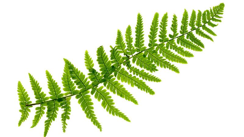 Best Ferns To Plant Sunset Magazine
