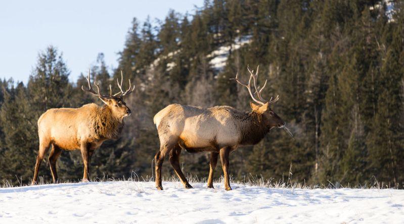 Spy Mountain Animals in Jasper National Park