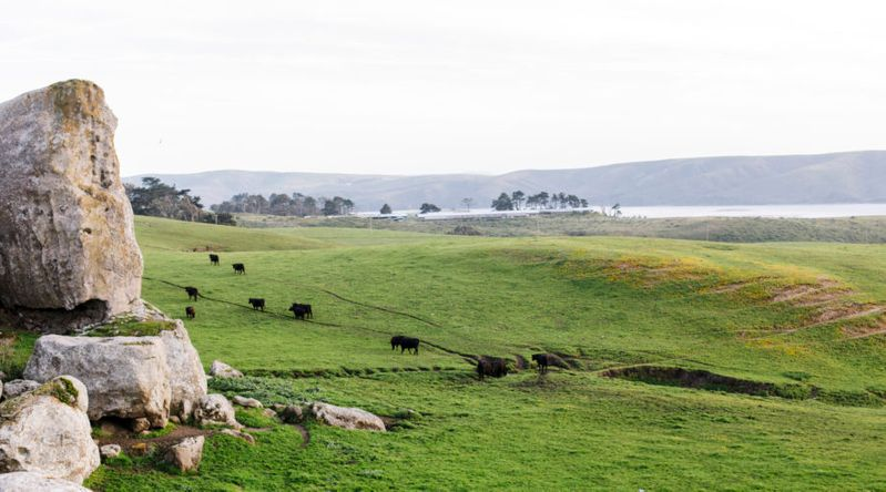 Cows grazing in a field with the ocean behind in Tomales Bay