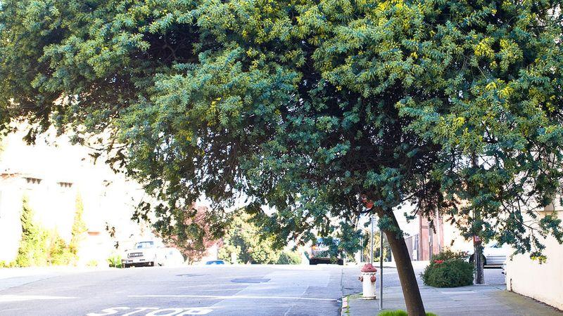 Types Of Trees For San Francisco Sunset Magazine
