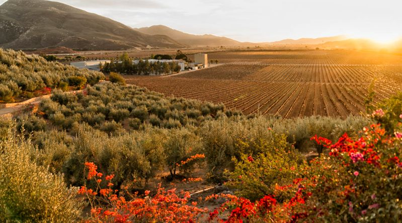 Vineyard and winery at sundown in the Valle de Guadalupe, Baja California, Mexico