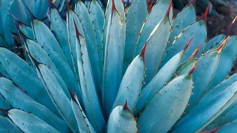 The Most Beautiful Agave Plants And How To Care For Them Sunset