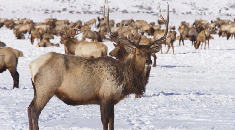 Elk standing in snow at the National Elk Refuge in Jackson