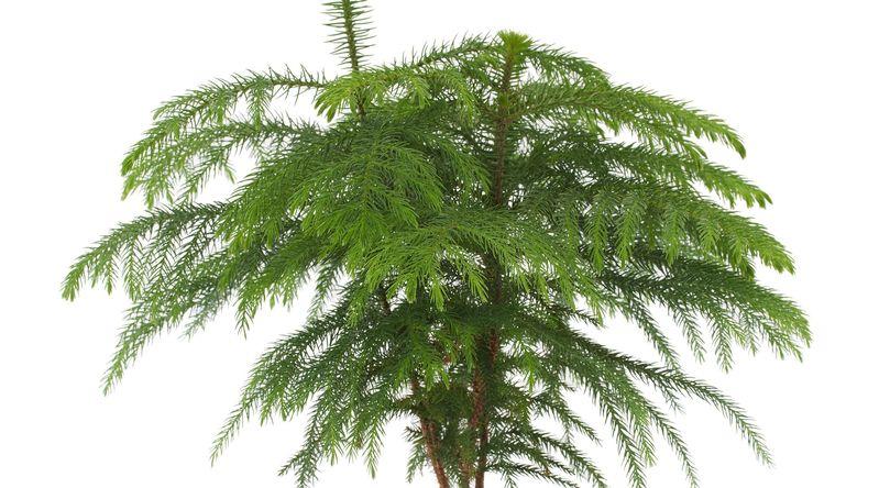 Norfolk Island Pine (Auraucaria heterophylia)