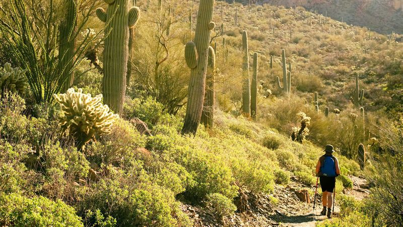 Giant cacti and woman hiking at sunset on the Arizona Trail in Superior
